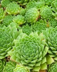Groene sedum